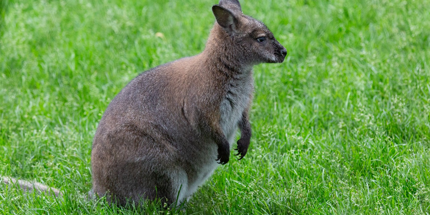 Bennett S Wallaby Smithsonian S National Zoo
