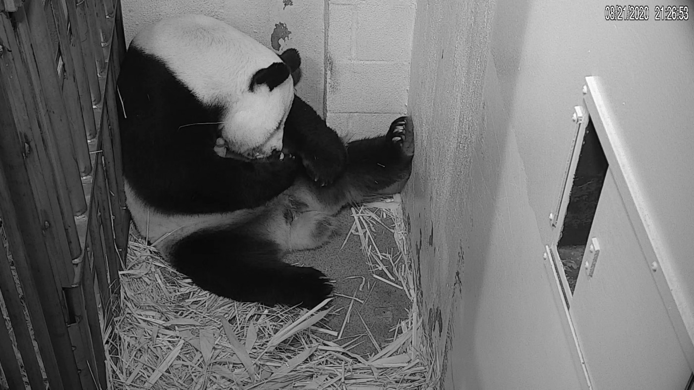 Giant panda Mei Xiang with her newborn cub. Mei Xiang gave birth to the cub at the Smithsonian's National Zoo Aug. 21. Animal care staff witnessed the birth at 6:35 p.m.