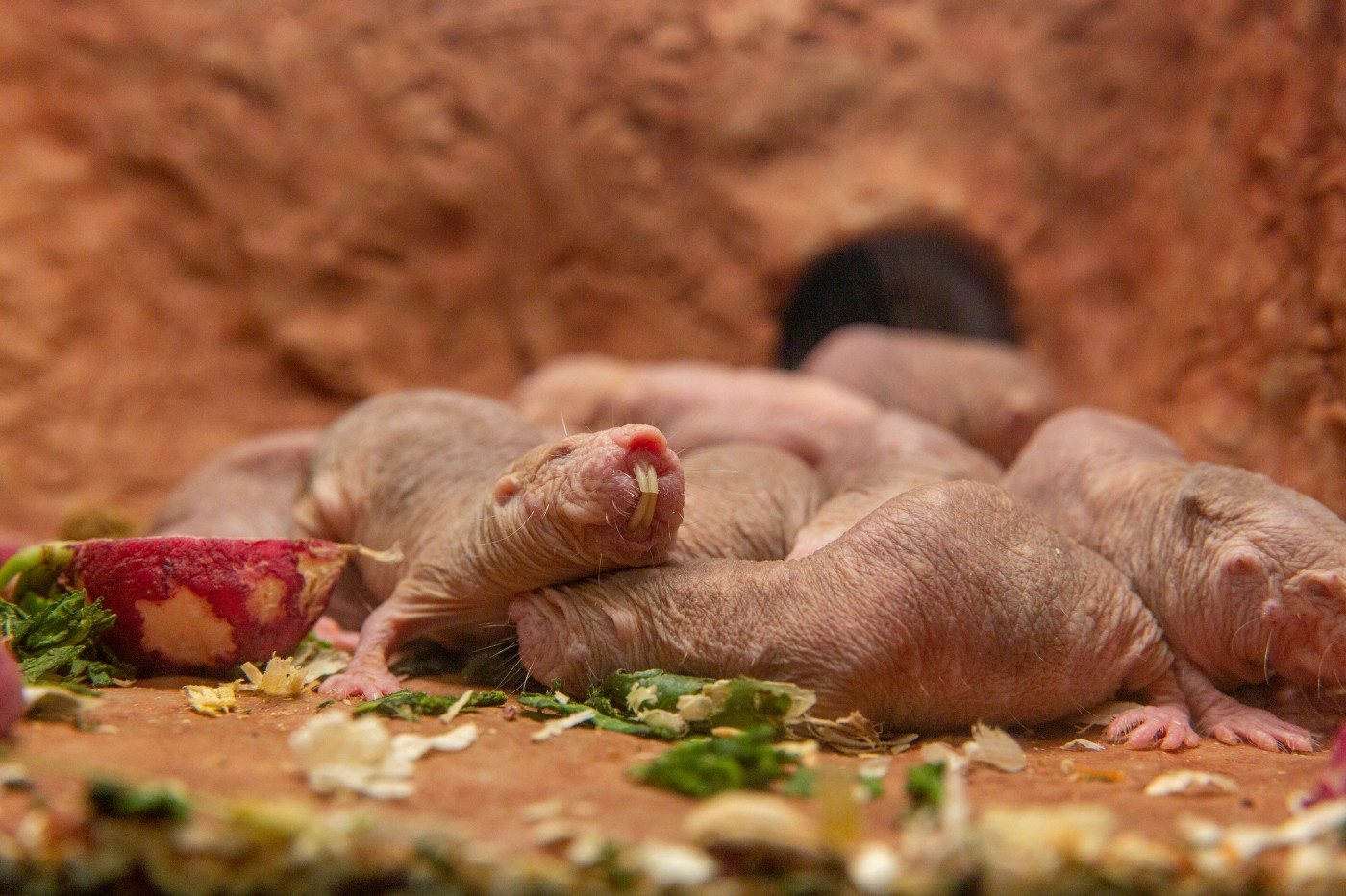 Naked Mole Rat   Fun Animals Wiki, Videos, Pictures, Stories