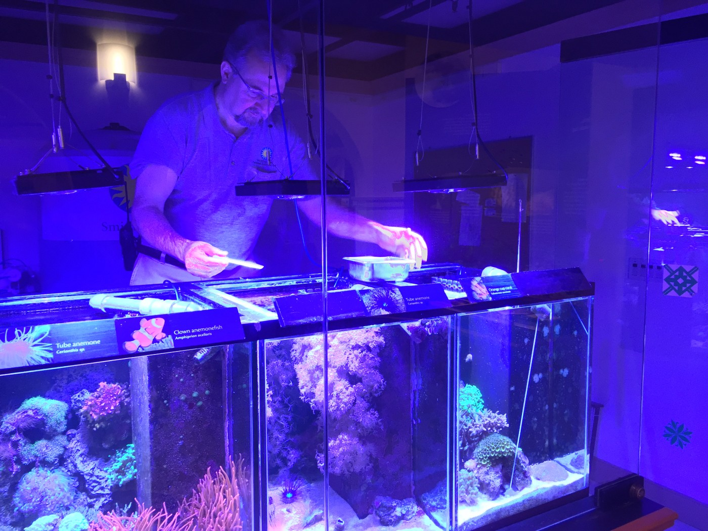 A zookeeper looks into a tank of corals
