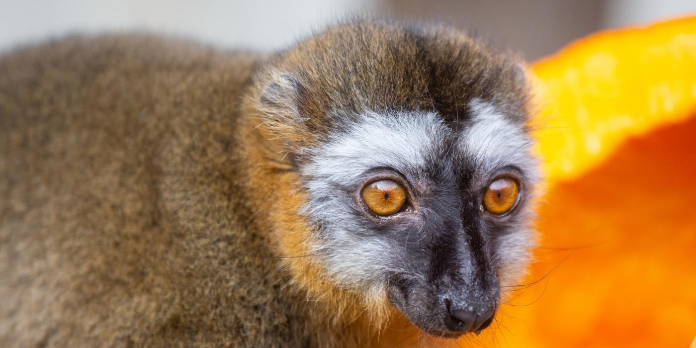 Featured Creature: Meet the Lemurs   Smithsonian's National Zoo