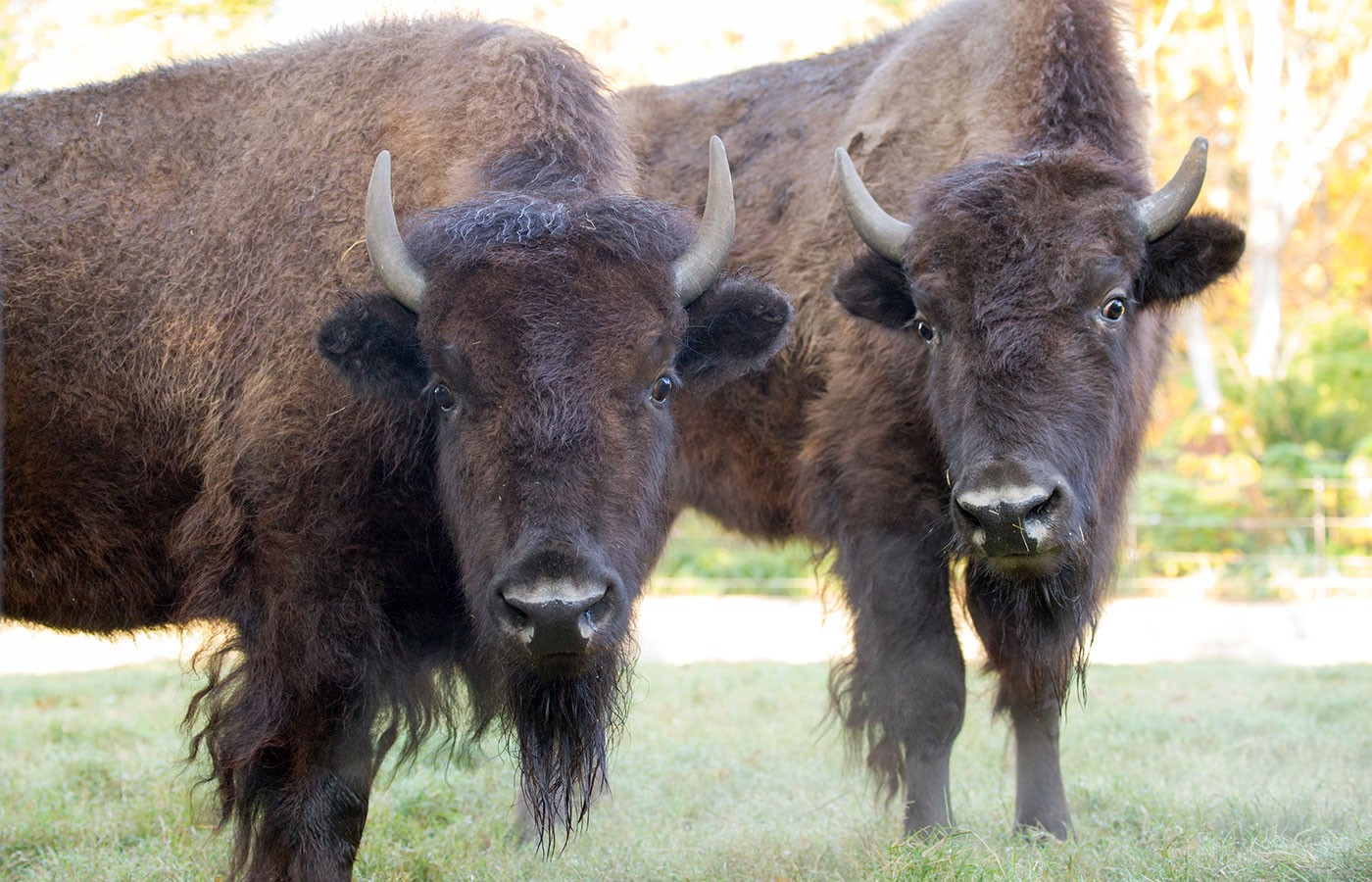 It S Bison Not Buffalo And Other American Bison Facts