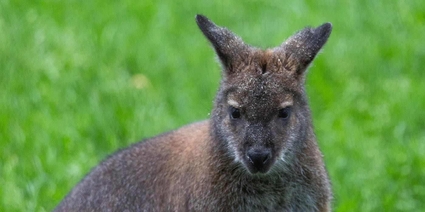 New At The Zoo Bennett S Wallabies Smithsonian S National Zoo