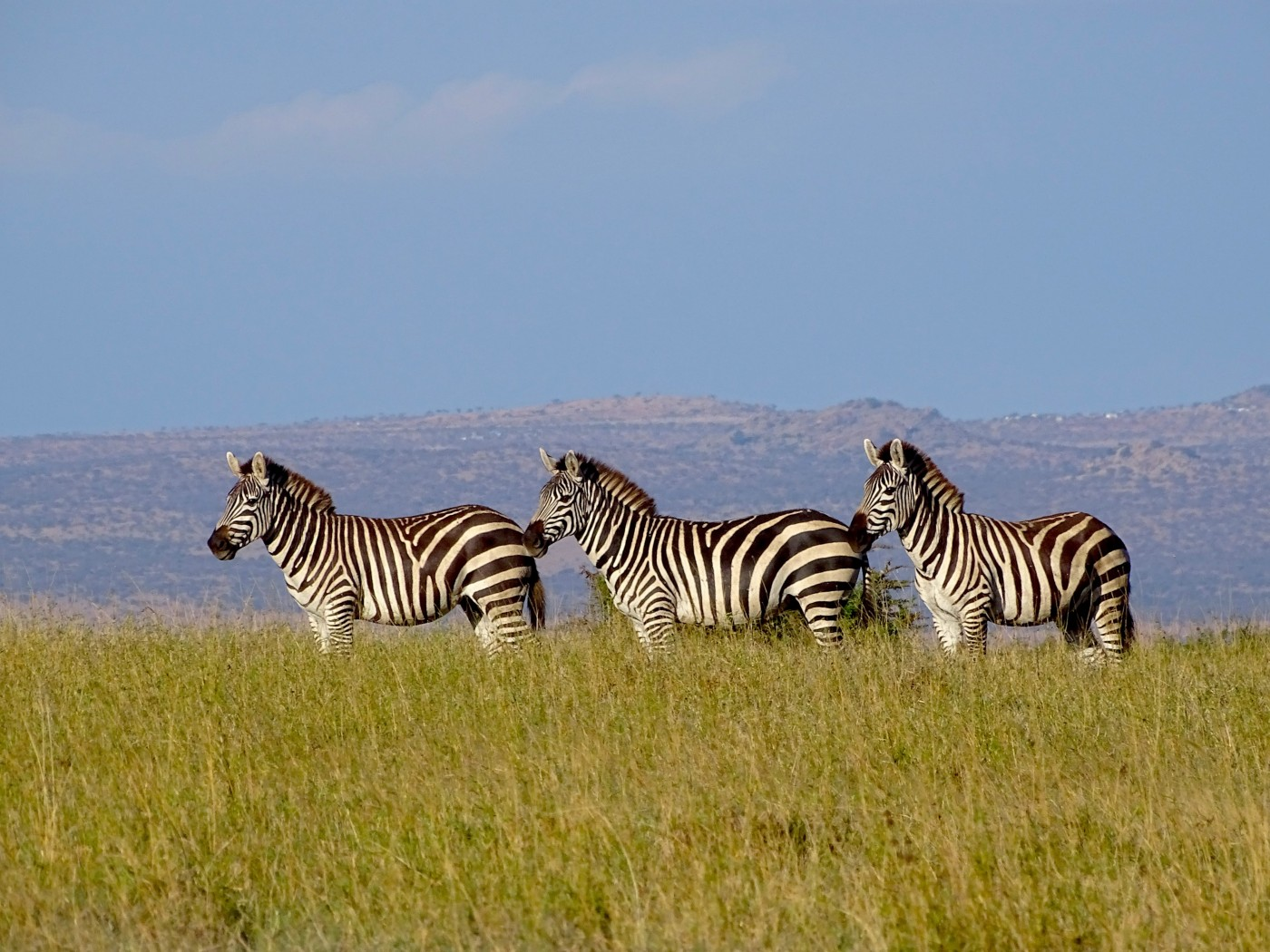 Growing Livestock Numbers Threaten One of the Last Refuges for Large Wild Herbivores in Kenya