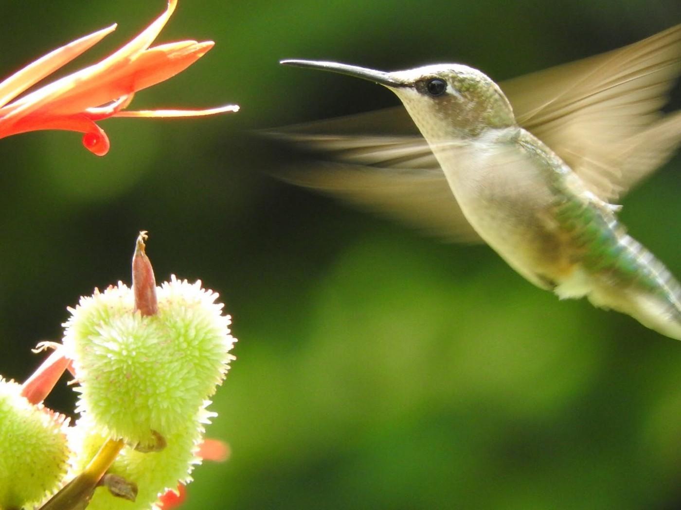 Where do hummingbirds live 31