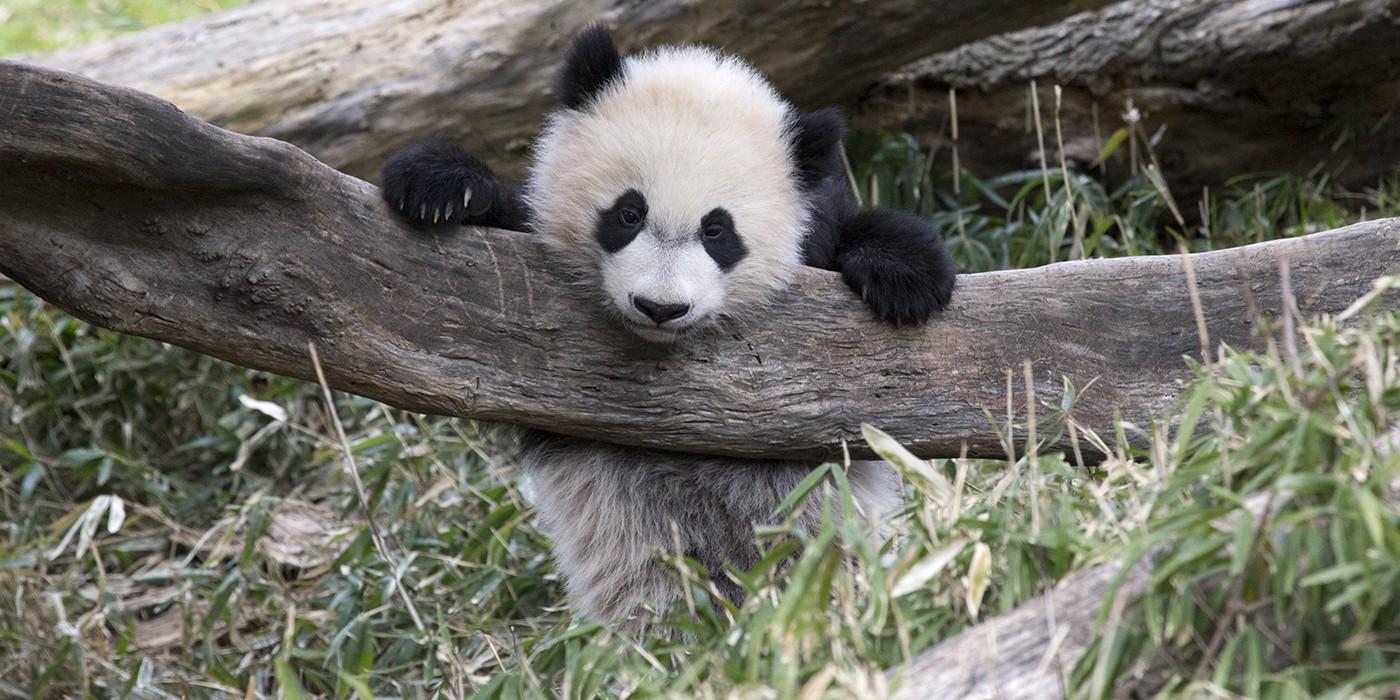 Giant Panda Smithsonian S National Zoo