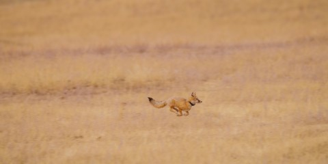 A swift fox wearing a tracking collar is released at Ft. Belknap