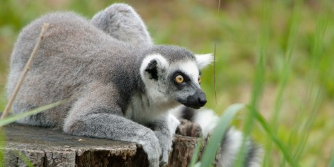 A ring-tailed lemur with grey and white fur, white ears and yellow eyes rests on a tree stump surrounded by green grass