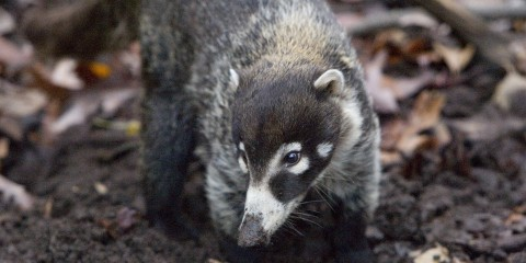 Image result for white nosed coati zoo