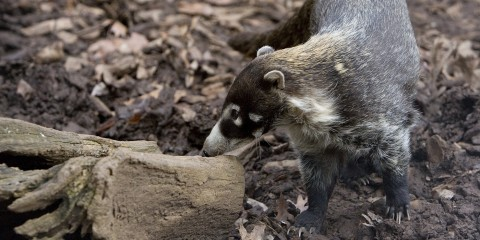 A white-nosed coati standing on all fours in the dirt