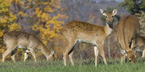 A group of eld's deer with large horns graze in the grass. One looks toward the camera.