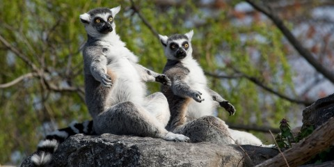 Two ring-tailed lemurs with gray and white fur, yellow eyes, a black nose and a white and black striped tail sitting on a rock