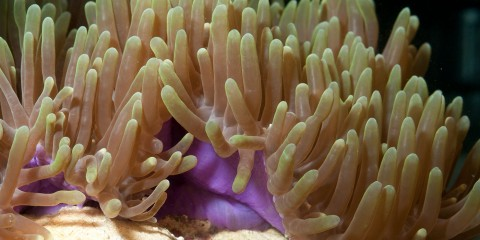 A Ritteri anemone with thick, short tentacles attached to a short stalk