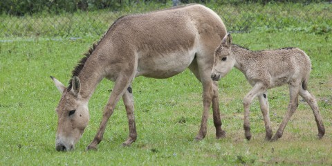 An adult and juvenile Persian onager standing in the grass