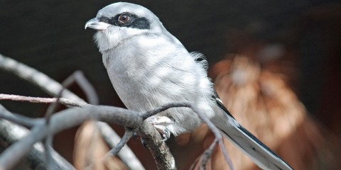 A loggerhead shrike perched on a branch