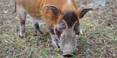 A red river hog with stout legs, a large snout with two bumps, and long, tapered ears sniffs the ground
