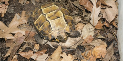 A small tortoise with a boxy shell, called an impressed tortoise, sits tucked into a pile of fallen leaves