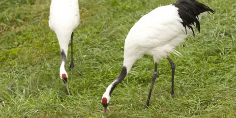red crowned crane smithsonian s national zoo