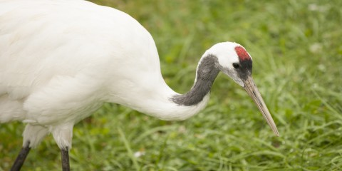 A red-crowned crane
