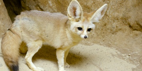 A canid (called a fennec fox) with thick, desert sand-colored fur, a bushy tail and big ears stands on a rock