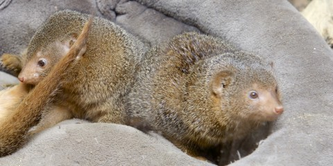 Two dwarf mongooses on a gray blanket