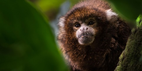 A white-eared titi monkey with coppery, brown fur, white ear tufts and a gray-white nose perched on a branch