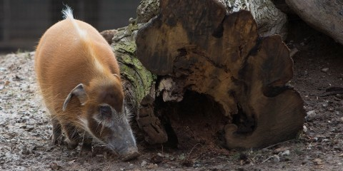 A red river hog with a long snout, tufts of hair extending from its ears, a round body and stout legs stands near a log