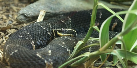 A dark gray-brown snake, called a Taylor's cantil, with white stripes on its head and light, triangular marks down its body