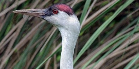 A close-up photo of the profile of a hooded crane's head with tall grasses in the background