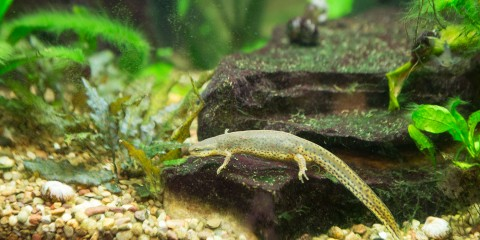 A small, spotted eastern newt swims near a rock, gravel and small green plants in its aquarium