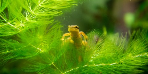 A small, yellow eastern newt swims through the water near a leafy, green frond