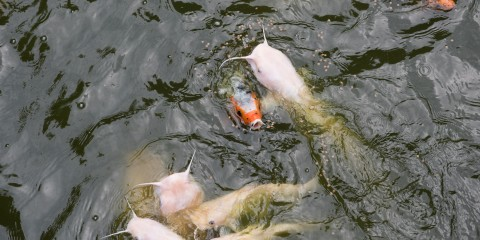 Orange fish and pale-colored fish with pronounced whiskers and open mouths swimming at the water's surface
