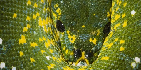 A close-up photo of a green tree python, a green snake with bright yellow spots