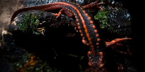 The ridged back of a red and black newt, called an emperor newt