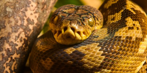 A close-up photo of a timor python, its face resting on its curled up body.