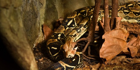 Boa Constrictor Smithsonian S National Zoo
