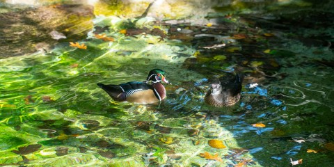 A multicolored wood duck and a more plainly colored wood duck float in the water