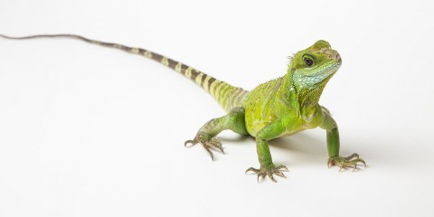 An Asian water dragon with long claws, a long, thin tail and scaly body