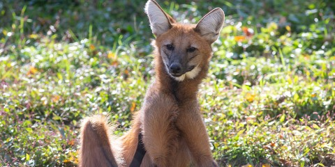 A maned wolf with large ears, a narrow snout, thick red fur and long limbs sits in the grass