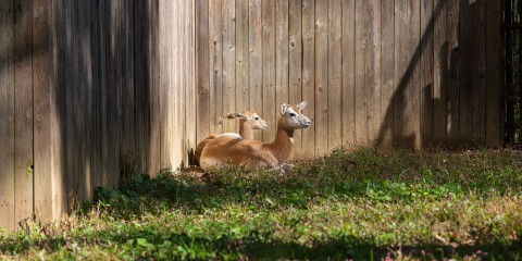 Two young dama gazelles rest in the grass near a tall wooden fence