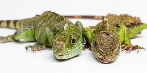 Two Asian water dragons with long claws, long, thin tails and scaly bodies