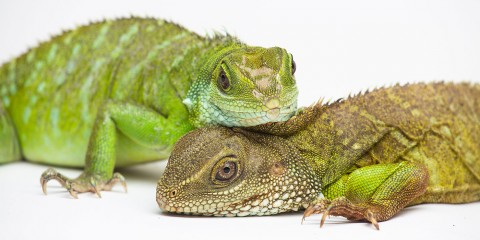 Two Asian water dragons with long claws, long, thin tails and scaly bodies. One rests its head on the other