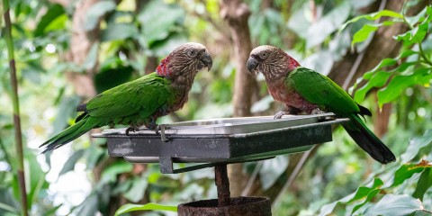 Two small, multicolored parrots perch on a food tray