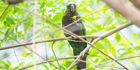 Hawk-headed parrot | Smithsonian's National Zoo