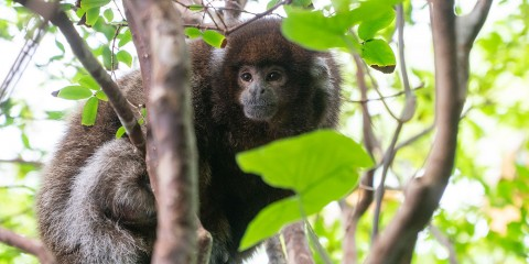 A white-eared titi monkey (a small monkey with thick brown and gray-white fur) perches on a branch