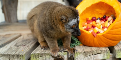 A small, rust-colored lemur with thick fur crouches on all fours next to a pumpkin filled with fruit