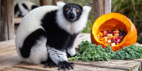 A small black-and-white ruffed lemur with thick fur, a mane around its face and long fingers sits on a wooden deck next to a fruit-filled pumpkin and a piece of kale