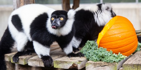 Two small black-and-white ruffed lemurs with thick fur, a mane around its face and long fingers stand on all fours on a wooden deck next to a pumpkin and a piece of kale