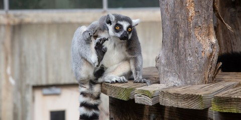 A ring-tailed lemur with thick fur, large paws, yellow eyes and a puffy, ringed tail sits perched on the edge of a small wooden deck
