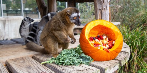 A small, rust-colored lemur with thick fur crouches on hind legs next to a pumpkin filled with fruit and a piece of kale